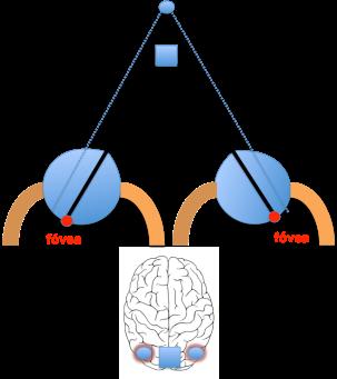 Figura 2. Diplopía fisiológica.