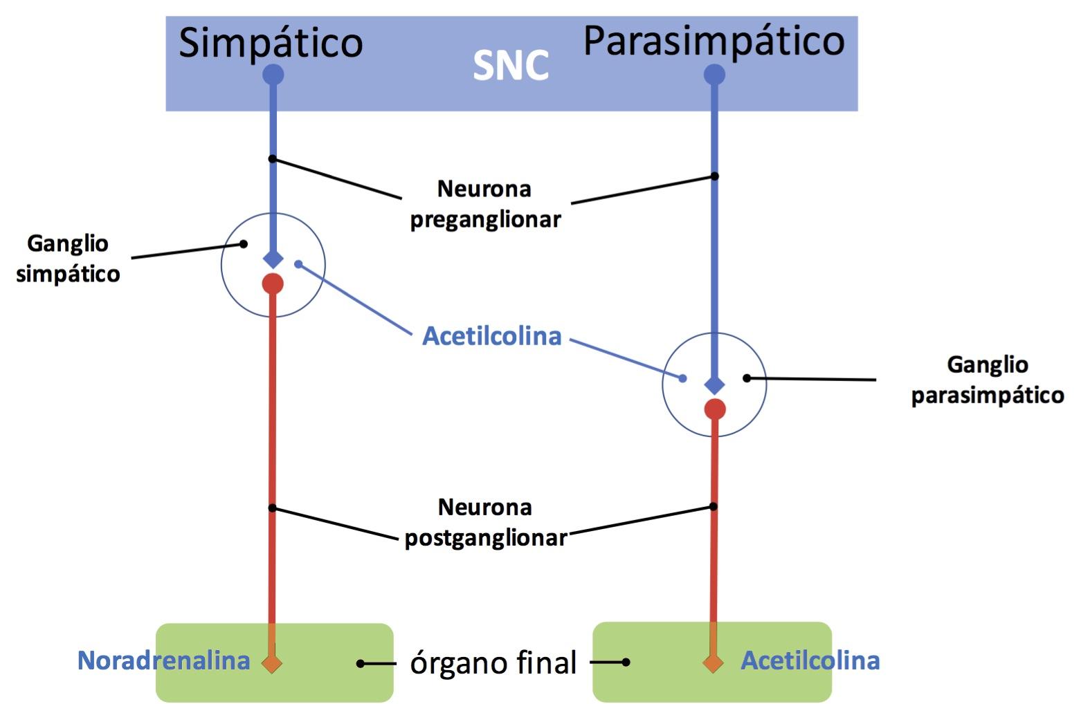 Anatomía del sistema nervioso autónomo simpático | consultadeneurologia