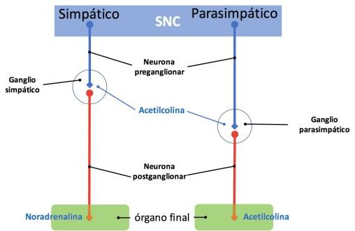 Neurotransmisores del sistema nervioso simpático y parasimpático