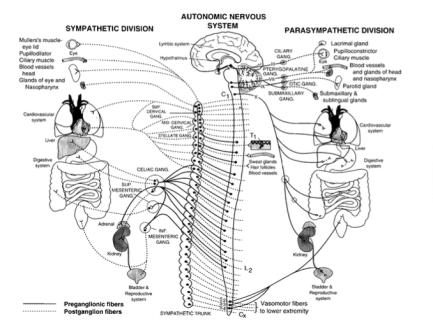 sistema-nervioso-autonomo-fig